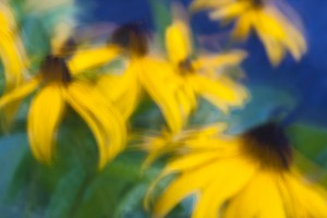 Blackeyed Susan Flower